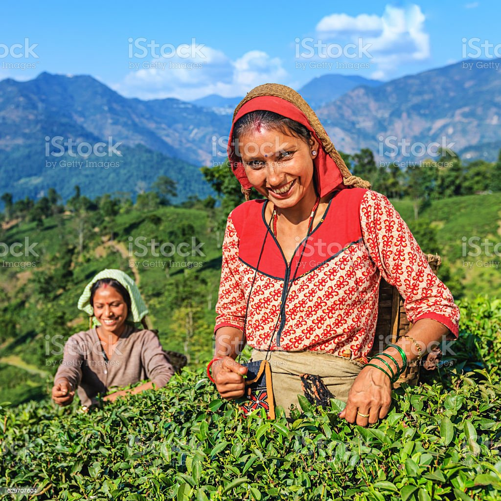 Indian pickers plucking tea leaves in Darjeeling, India stock photo