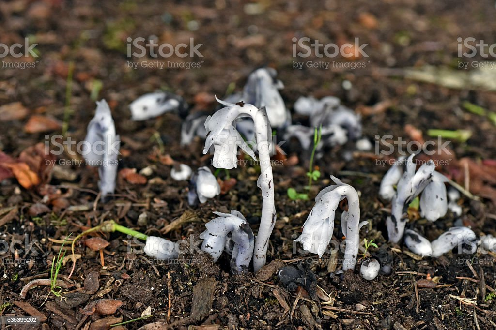 Indian Pipe or Ghost plant Flowers stock photo
