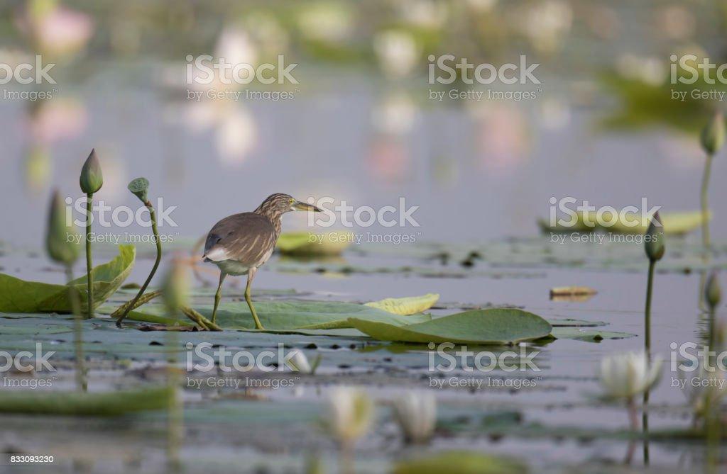 Indian pond heron in lotus Pond stock photo
