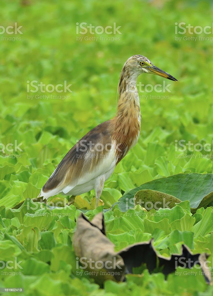 Indian Pond Heron (Ardeola grayii) royalty-free stock photo