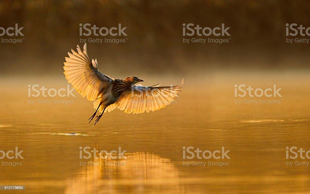 indian pond heron stock photo