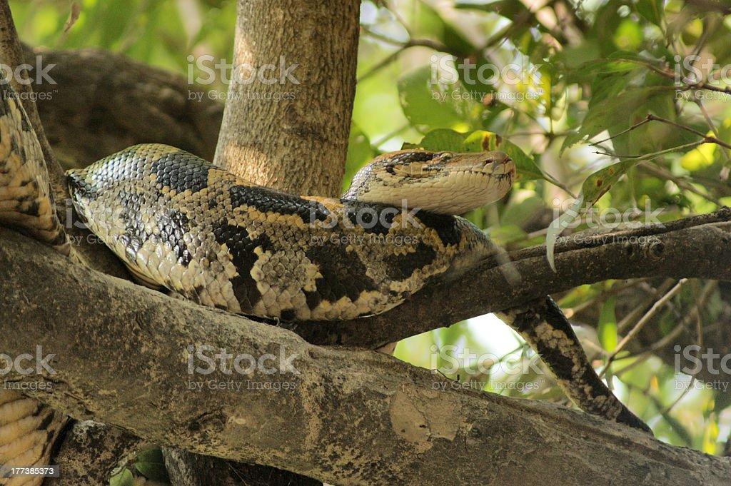 indian python royalty-free stock photo