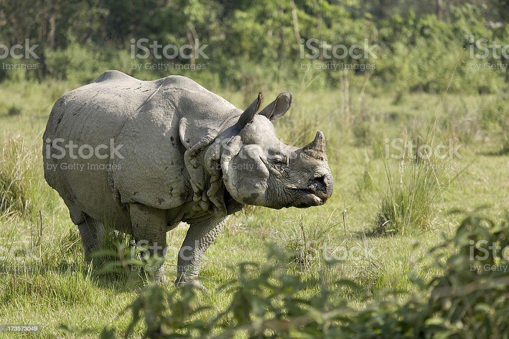 Indian Rhino bull stock photo