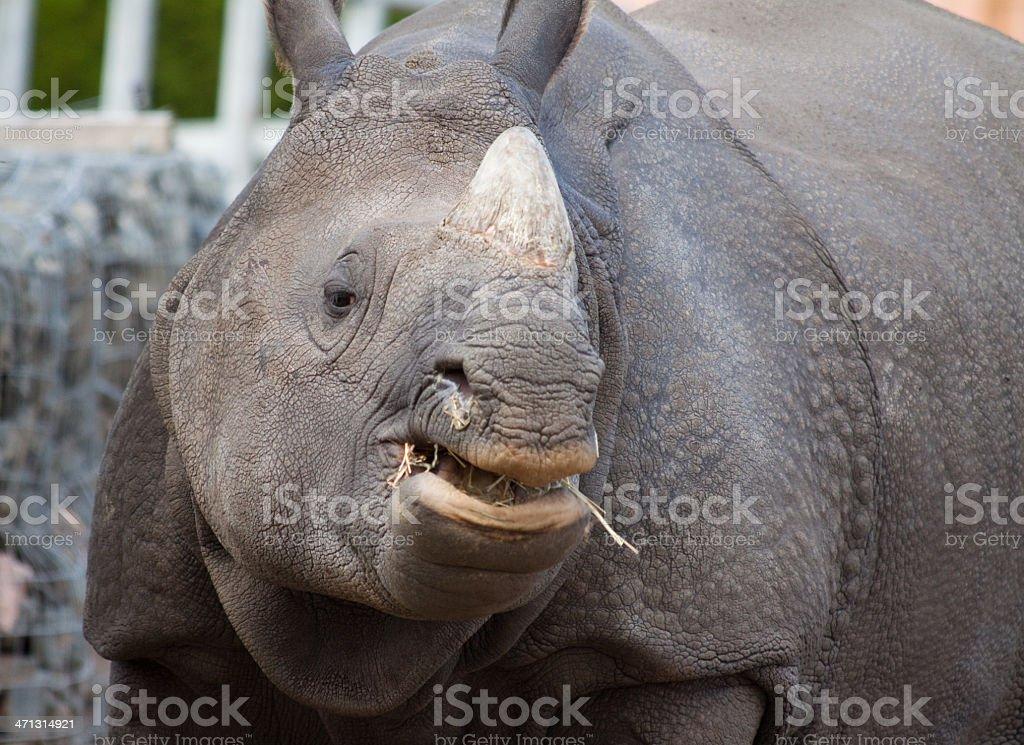 Indian Rhino eating stock photo