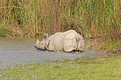 Indian Rhino Heading into the River