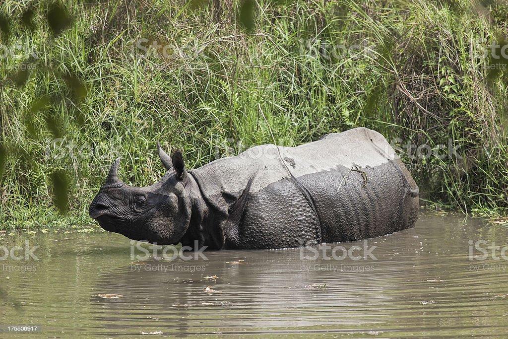 Indian Rhino in Chitwan stock photo