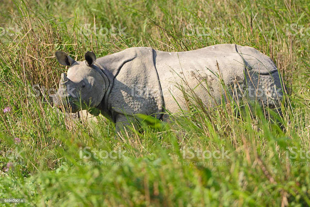 Indian Rhino in the Grasslands stock photo