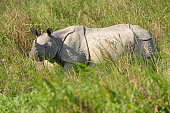 Indian Rhino in the Grasslands