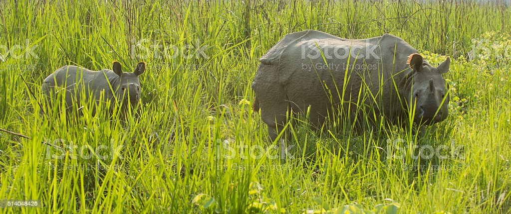 Indian Rhino mother and calf stock photo