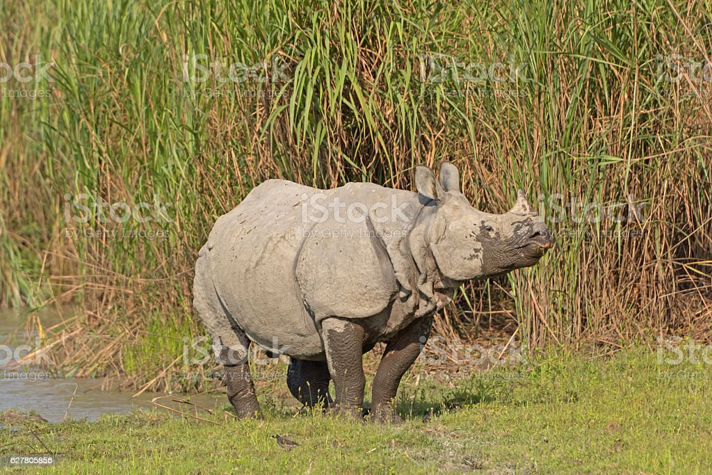 Indian Rhino on a River Bank stock photo