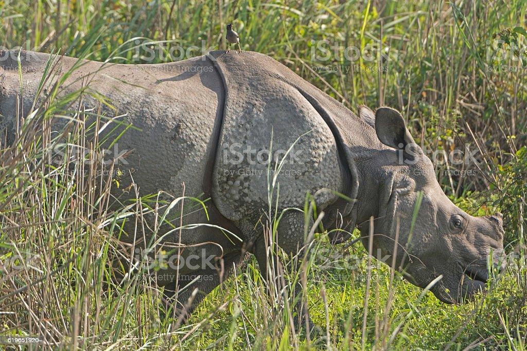 Indian Rhino with bird in the Grassland stock photo