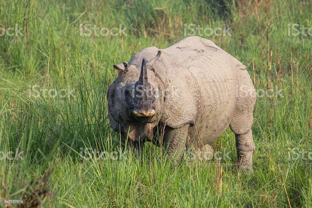 Indian rhinoceros - greater one-horned rhinoceros stock photo