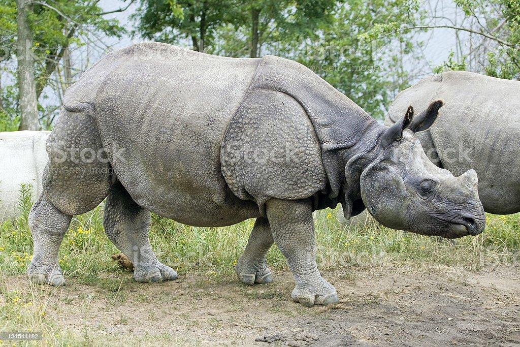 Indian Rhinoceros In Herd stock photo