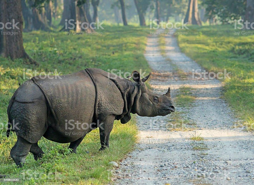 Indian Rhinoceros, Jaldapara National Park stock photo