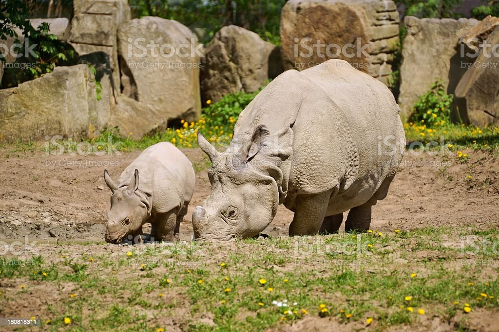 Indian Rhinoceros, mother with her child stock photo