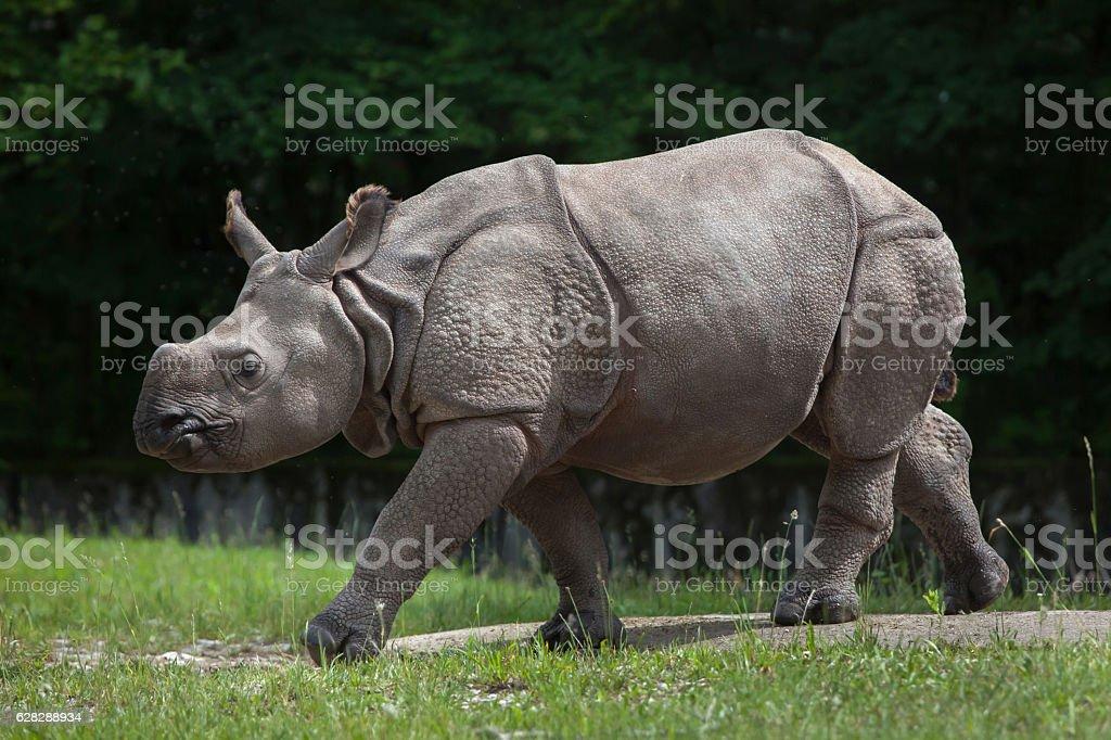 Indian rhinoceros (Rhinoceros unicornis). stock photo
