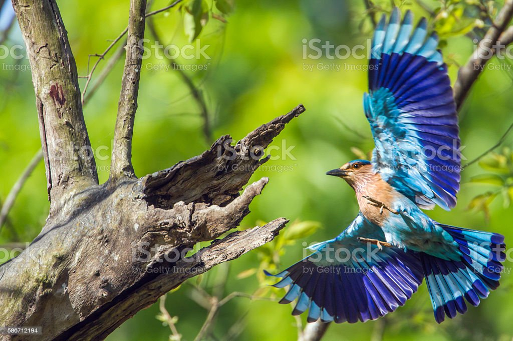 Indian roller in Bardia national park, Nepal stock photo