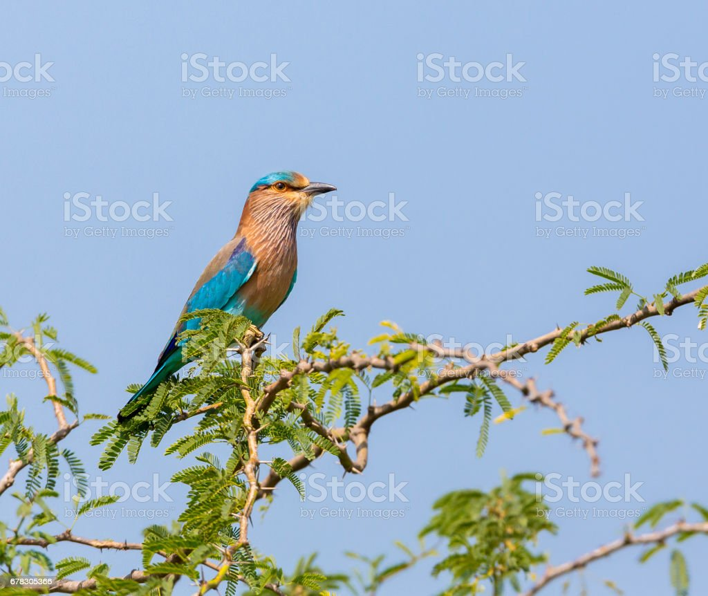 Indian Roller. stock photo