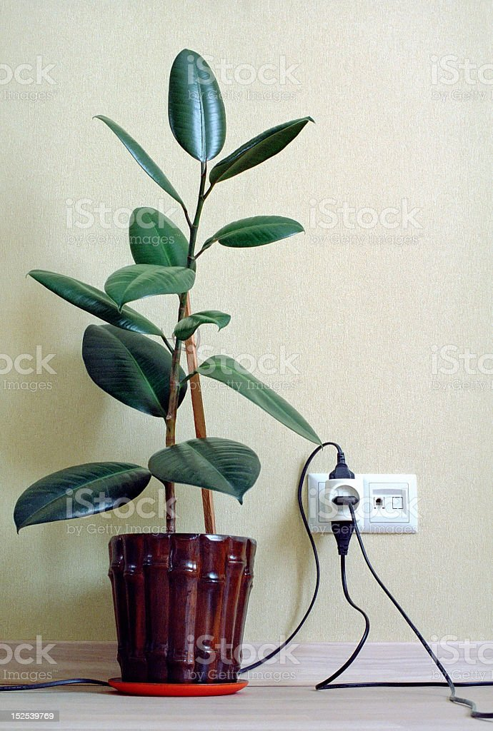 Indian Rubber Houseplant  in home stock photo