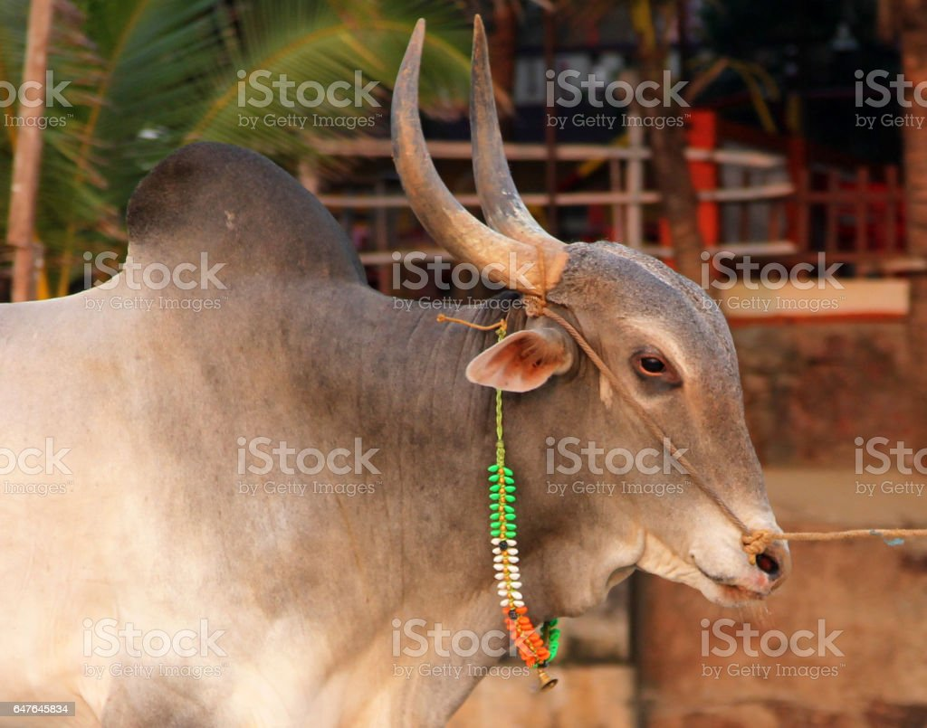 Indian sacred cow on the beach in GOA stock photo