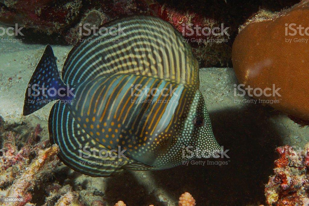 Indian Sailfin Tang on Maldives coral reef stock photo