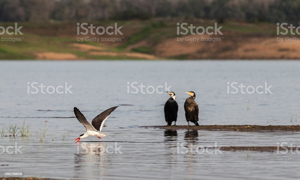 Indian Skimmer skimming, with Great Cormorants stock photo