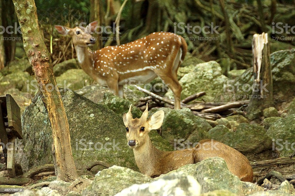 Indian Spotted Deer. (Axis Porcinus) stock photo