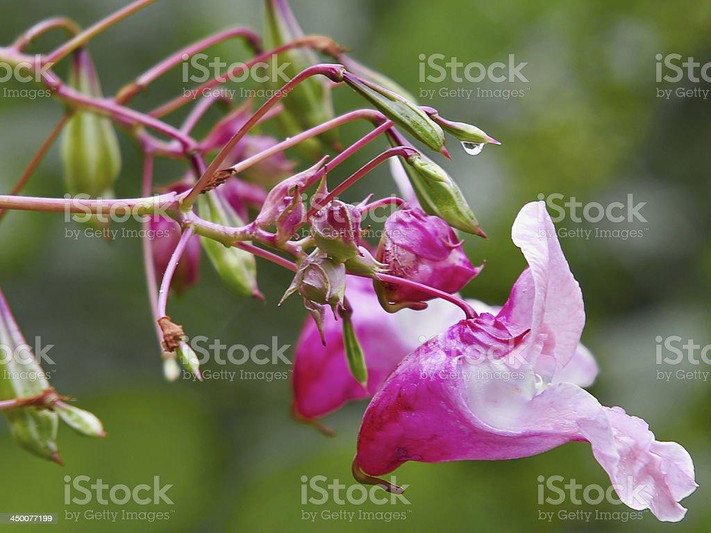 Indisches Springkraut stock photo