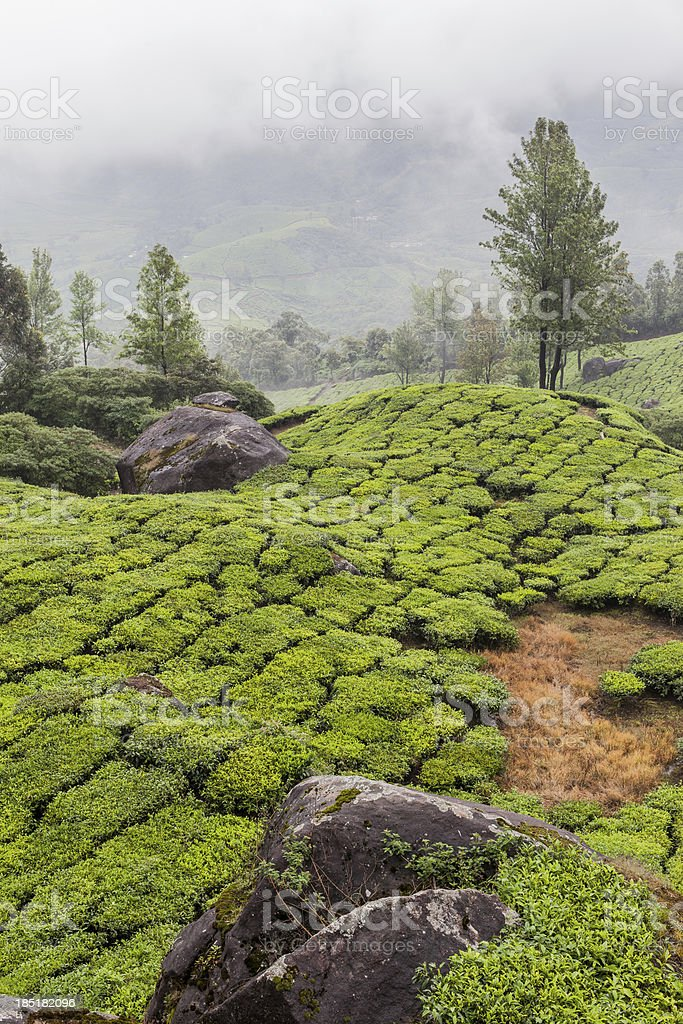 Indian tea plantage stock photo