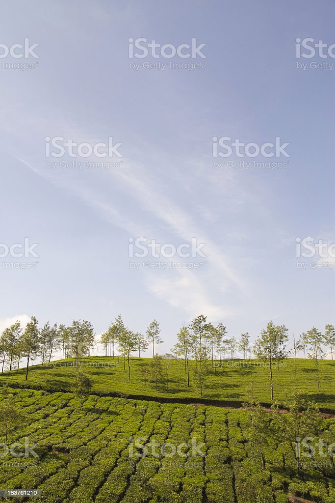 Indian Tea Plantation royalty-free stock photo
