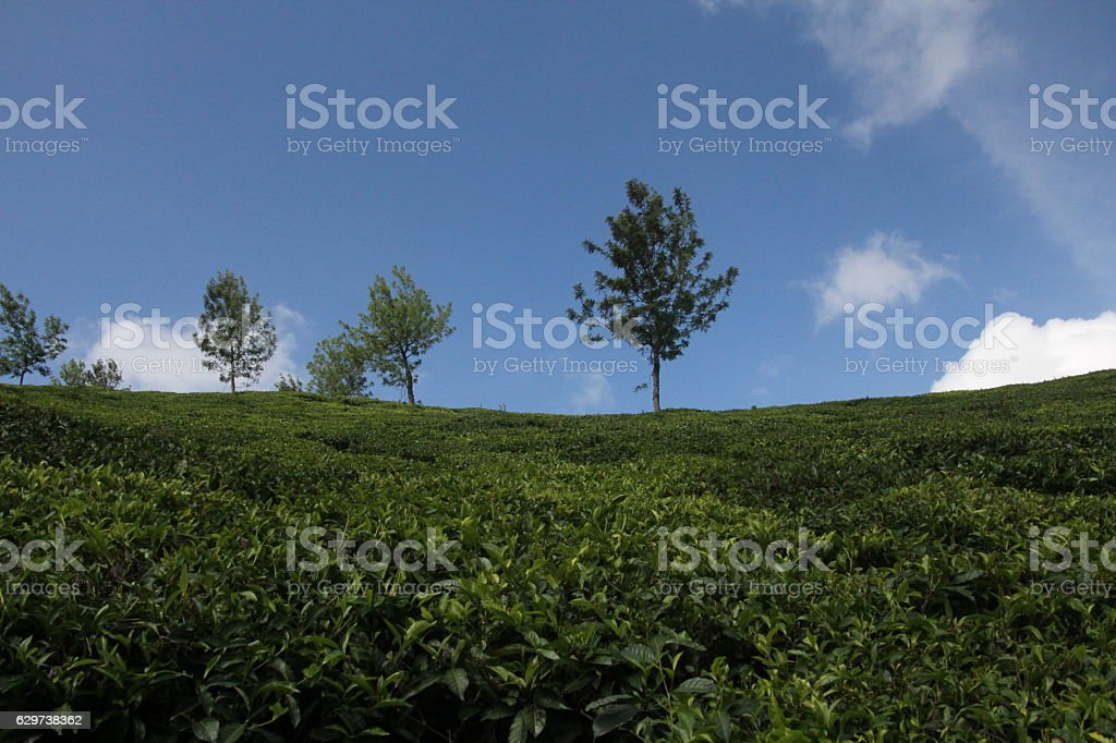Indian Tea Plantation With Blue Sky stock photo