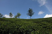 Indian Tea Plantation With Blue Sky
