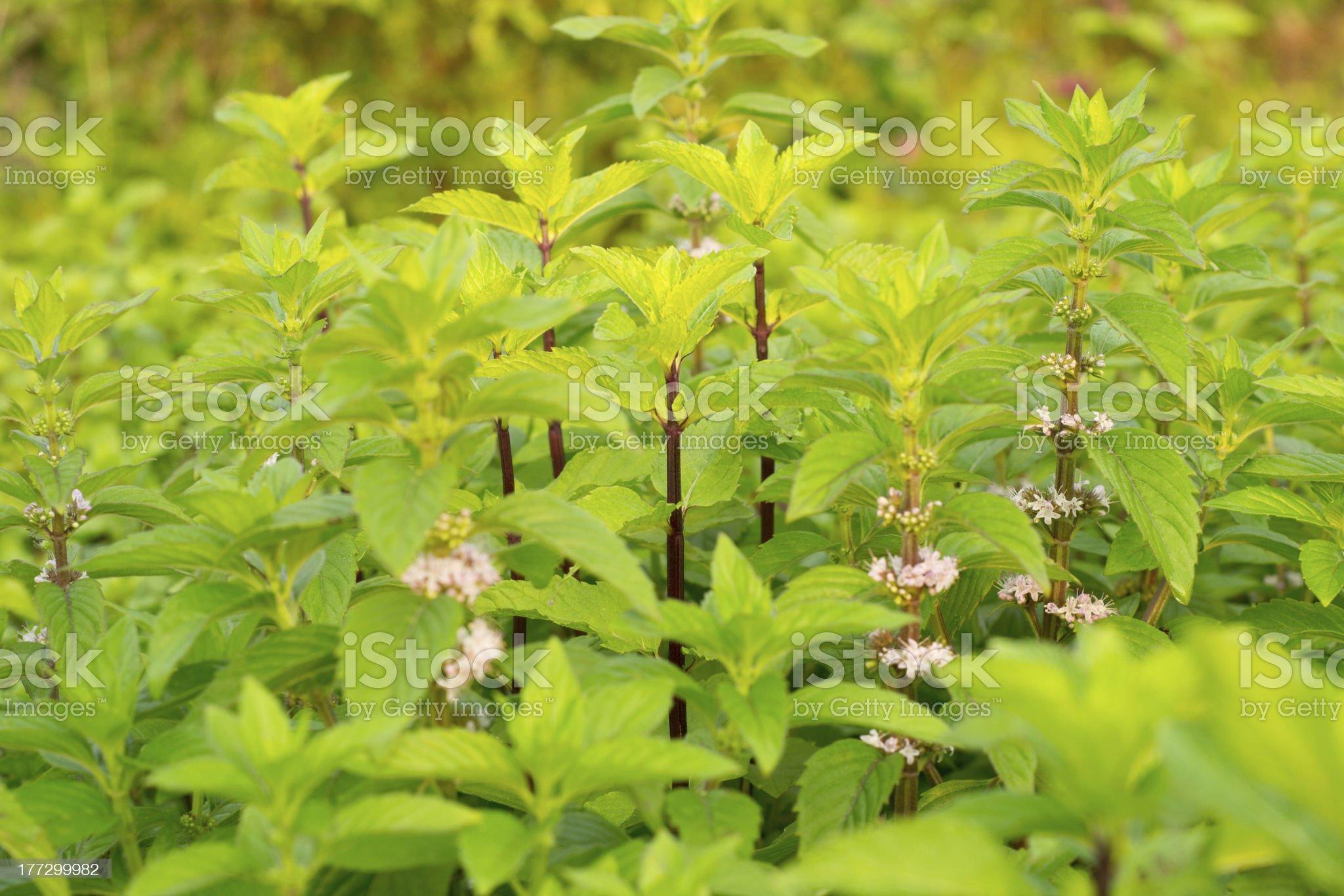 Indian tree basil royalty-free stock photo