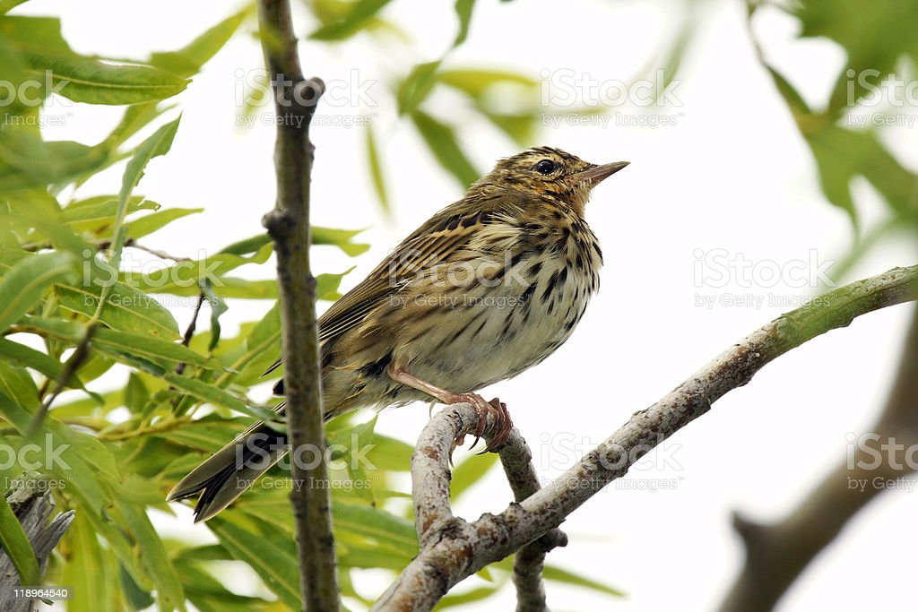 Indian tree pipit. stock photo