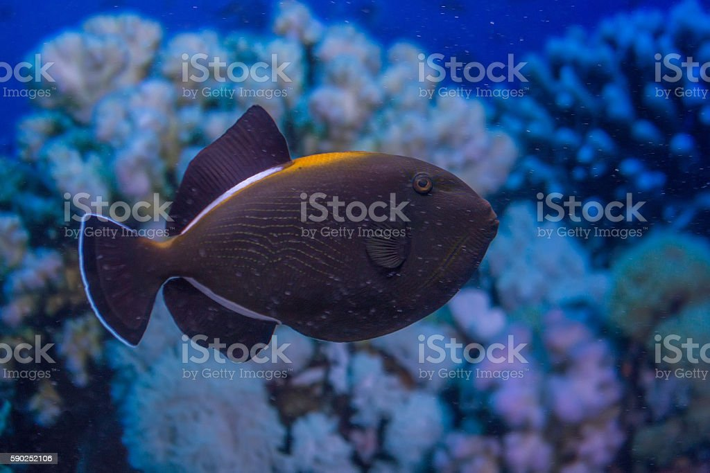 Indian triggerfish or Melichthys indicus stock photo