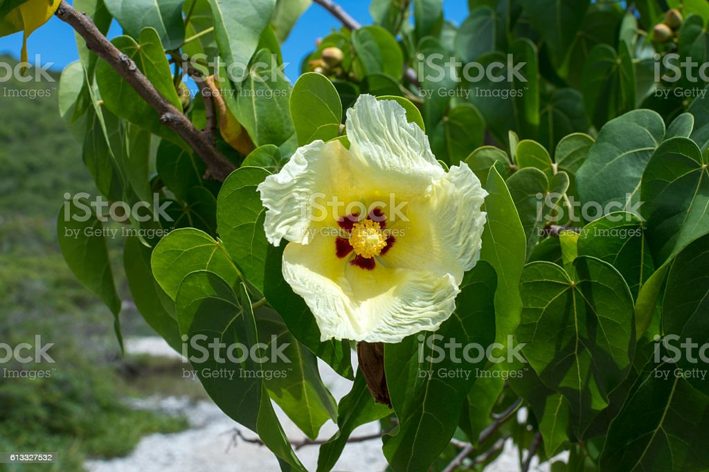 Indian tulip tree blooming stock photo