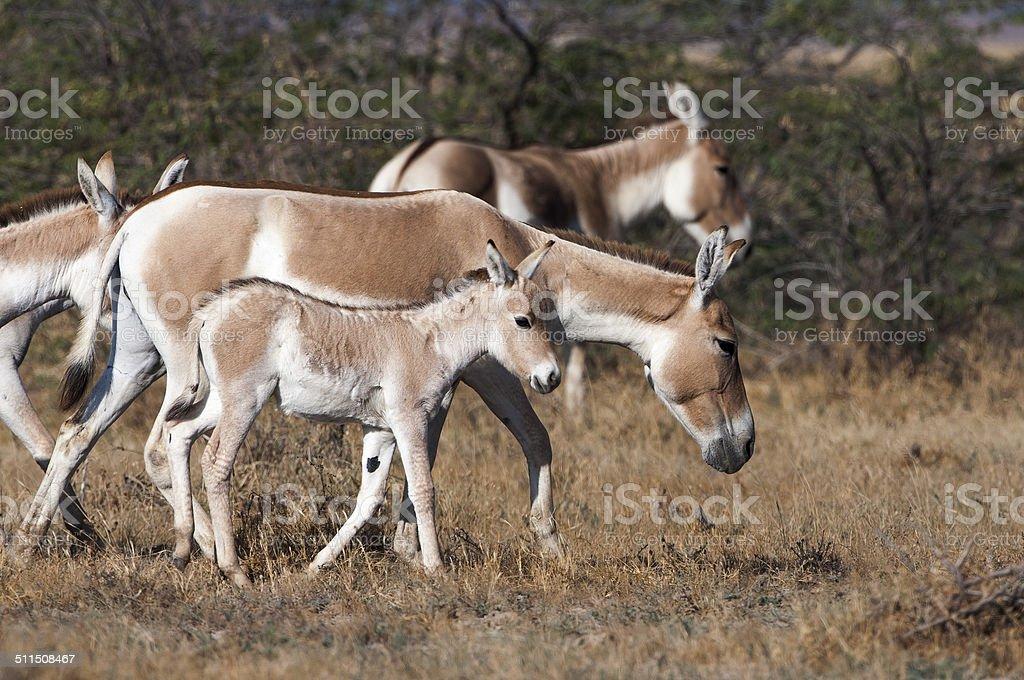 Indian Wild Ass (Khur) stock photo