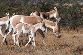 Indian Wild Ass (Khur)