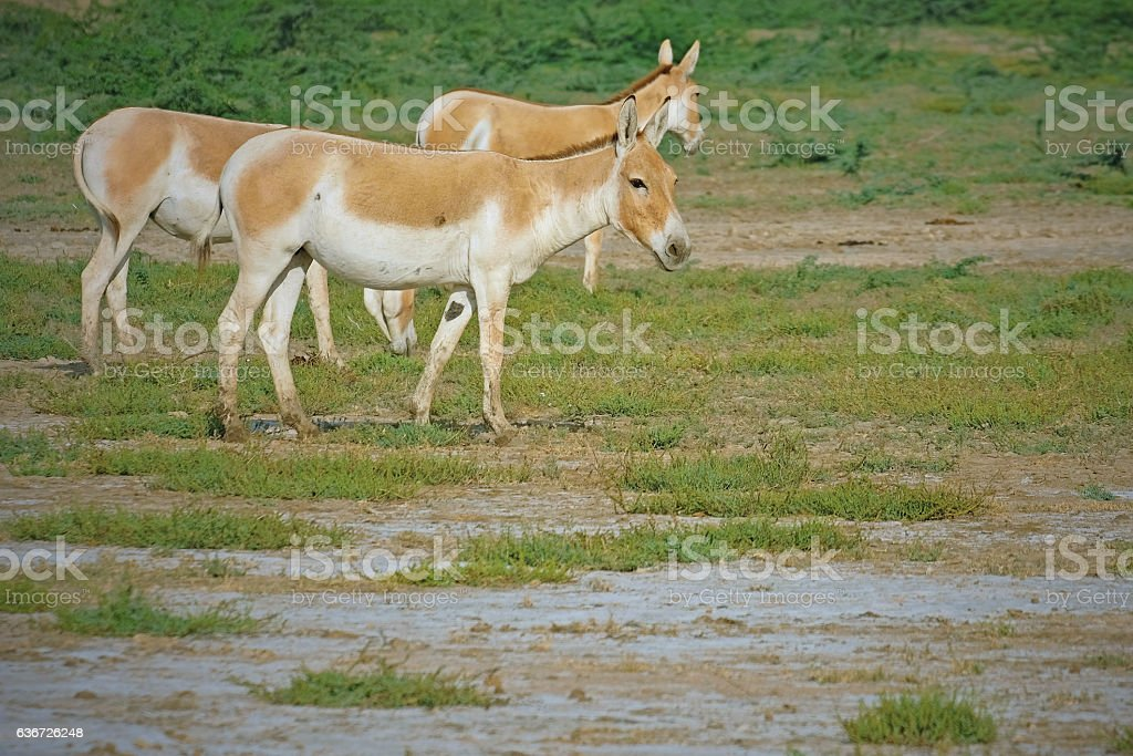 Indian wild asses in Gujarat stock photo
