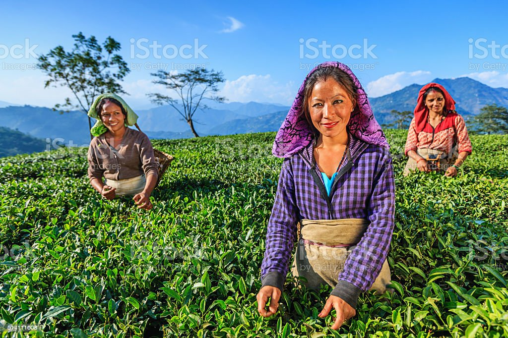 Indian women plucking tea leaves in Darjeeling, India stock photo