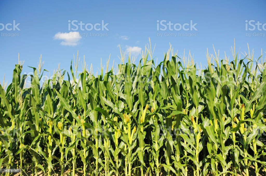 Indiana Corn Field and Sky in July royalty-free stock photo