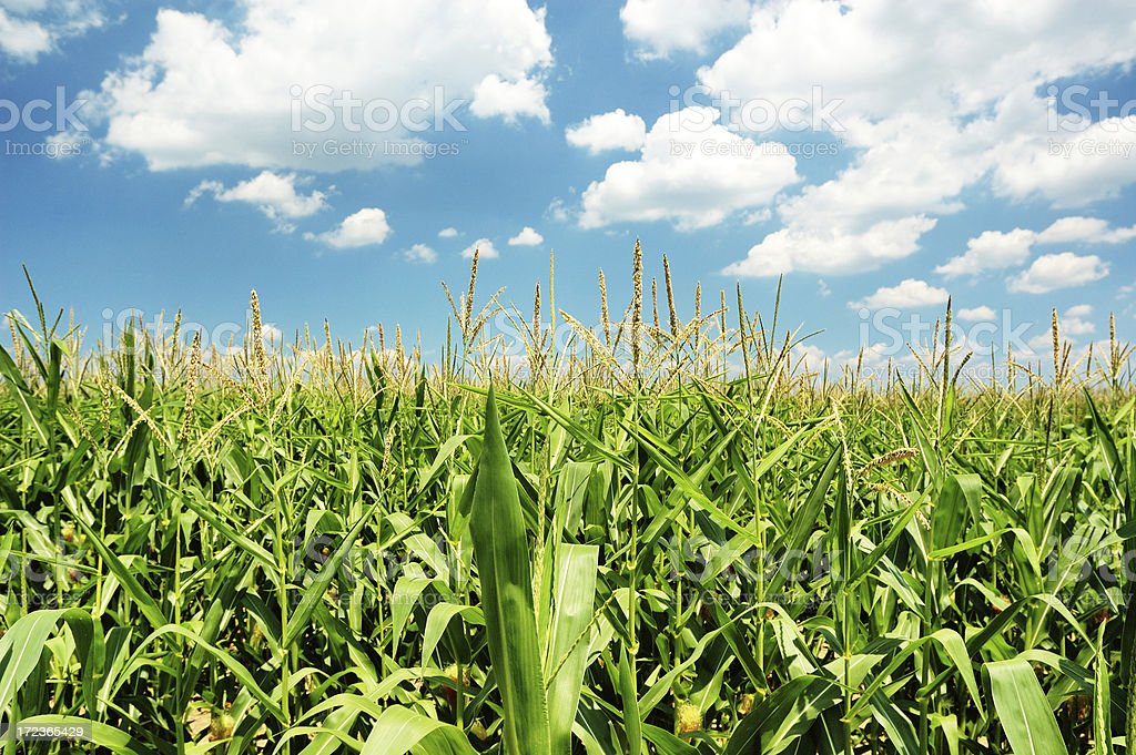 Indiana Cornfield with Clouds on Bright Summer Day stock photo