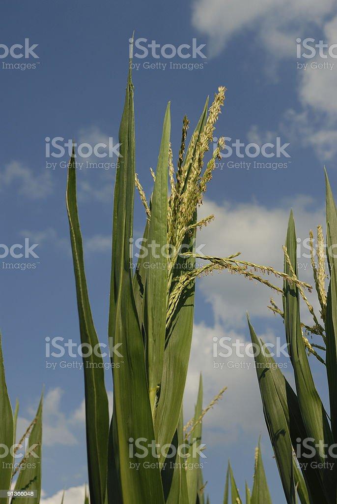 Indiana Sweet Corn and Sky royalty-free stock photo