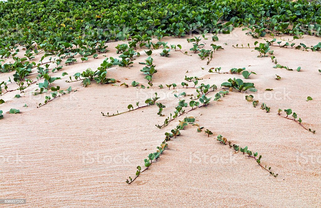 Indigenous Dune Plant Growing in the Beach Sand stock photo
