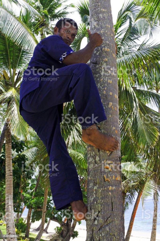 Indigenous Fijian man climbs up a coconut tree stock photo