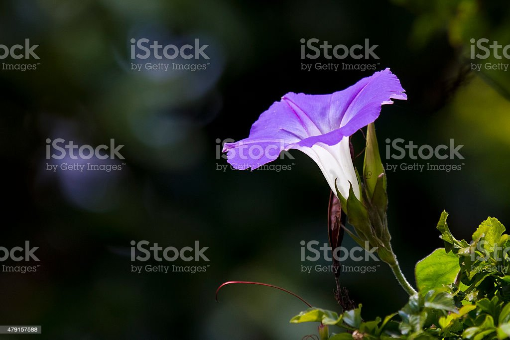 Indigenous Light violet Indian Morning Glory flower, Ipomoea indica stock photo