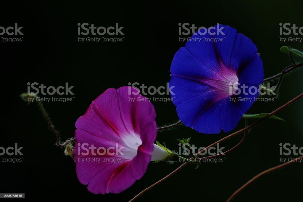 Indigenous Royal blue German Morning Glory flower, Ipomoea indica nil stock photo