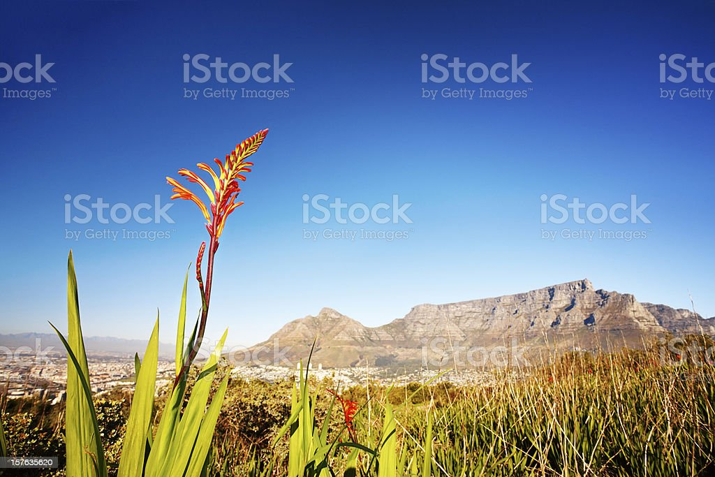Indigenous wildflower in front of Table Mountain, Cape Town stock photo