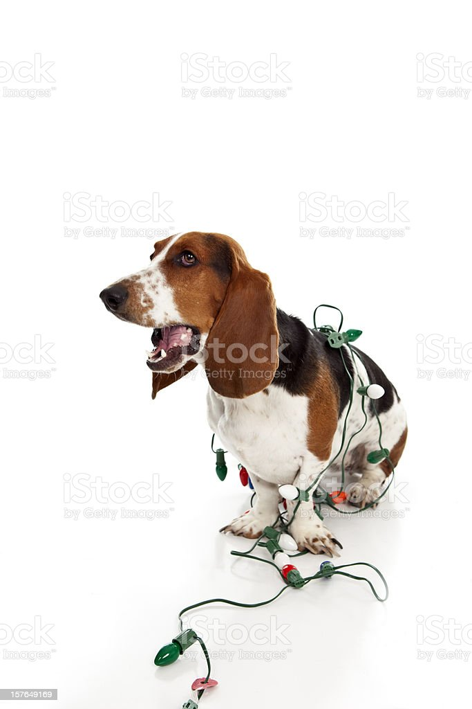 Indignant Basset Hound Wrapped in Chrismats lights. royalty-free stock photo