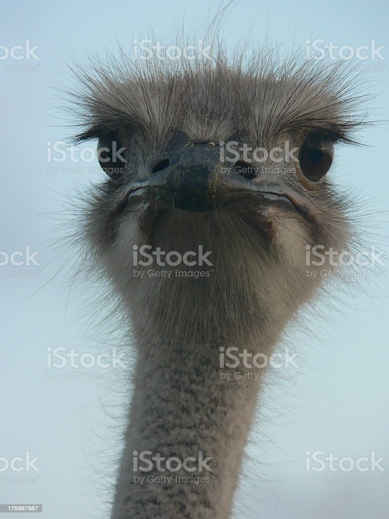 Indignant looking ostrich royalty-free stock photo